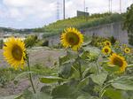sunflower_zenkei.jpg
